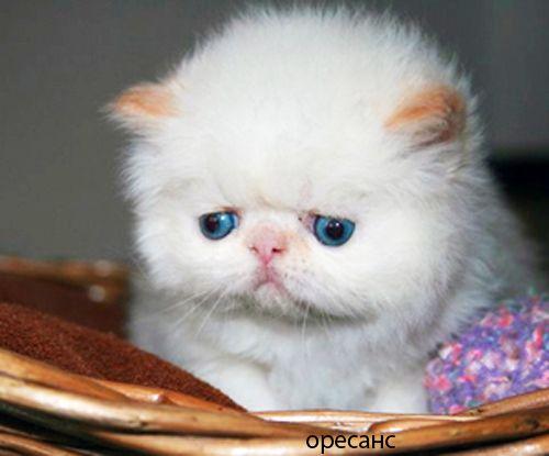 Персидской котик колор поинт с голубыми глазами