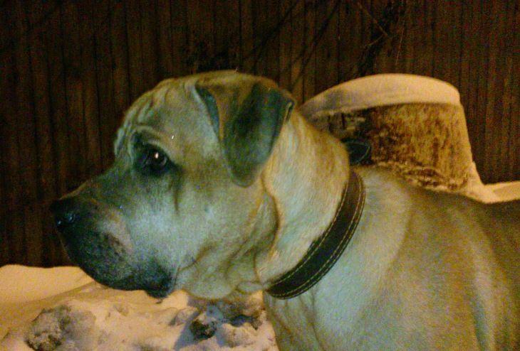 Пёс породы Тоса Ину ищет дом