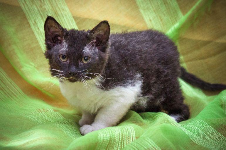 Кудрявый котёнок Фаня - метис донского сфинкса в дар