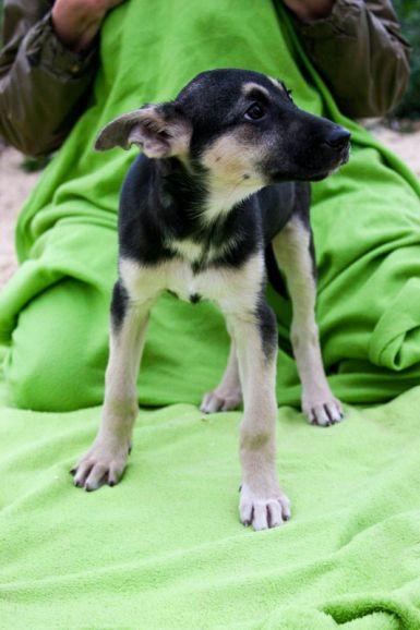 Стелла - щенок счастливому хозяину