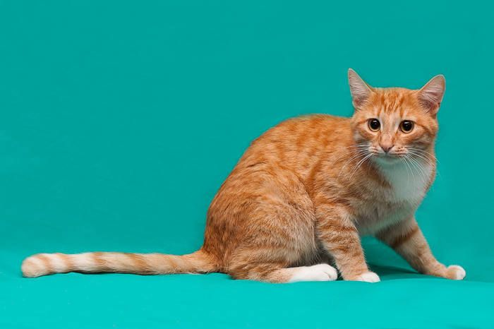 Рыжий котик Солли в дар