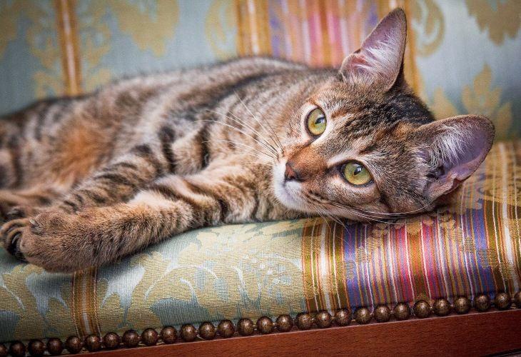 Чудесная кошка Софи в добрые руки.