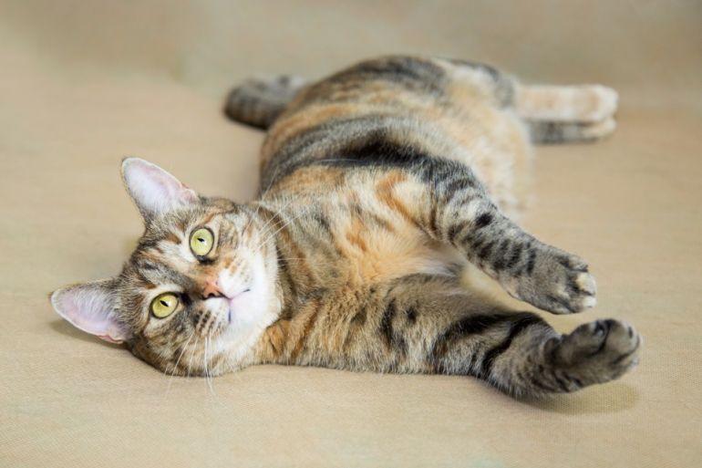 Роскошная кошка Васенька в поисках дома