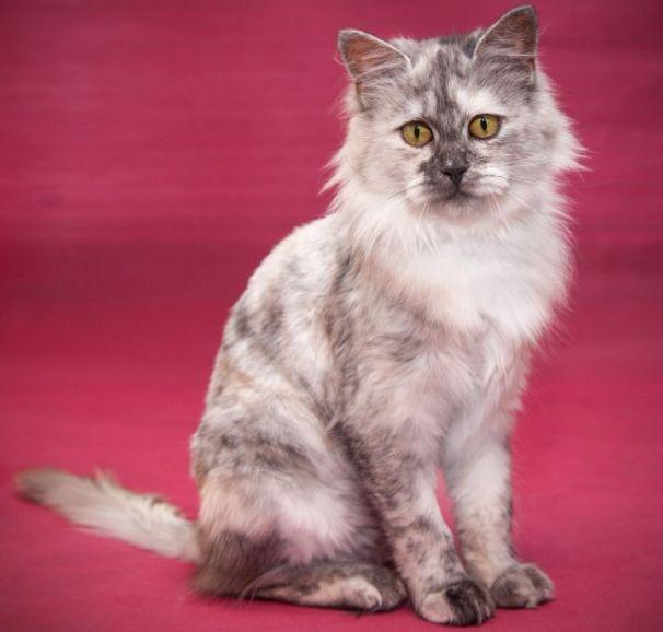 Эксклюзивная красавица Марфа. Кошечка очень редкого, необычного окраса в дар