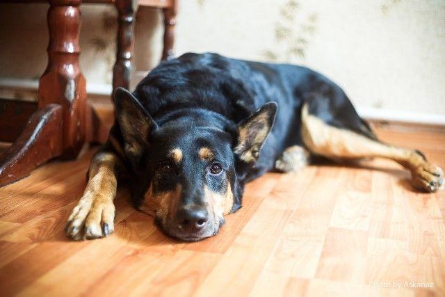 Крупный пёс по имени Том. Добряк, весельчак и просто хороший парень