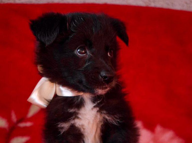 Пандора - 2 месяца девочка ищет семью, щенок в дар