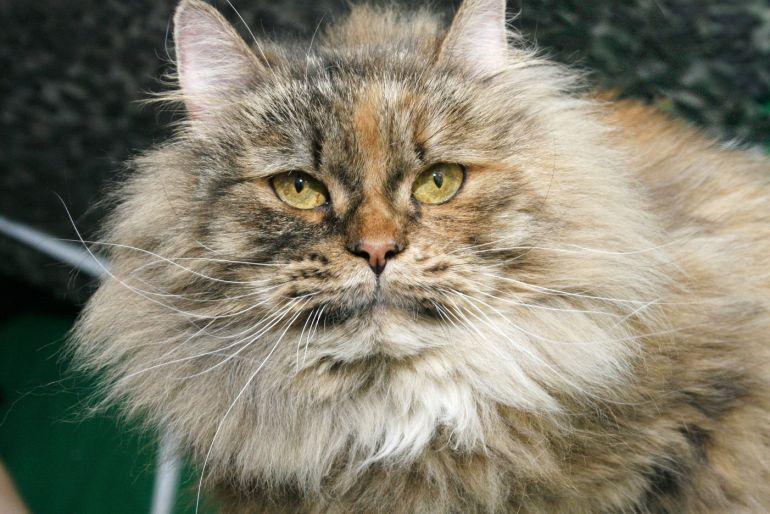 Пушистая богиня - кошка Амели мечтает обрести дом
