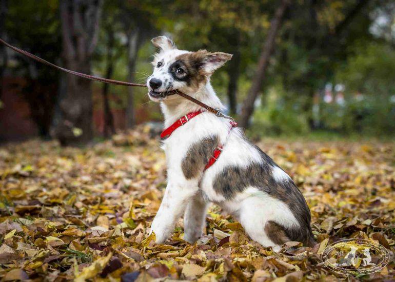 Подрощенный щенок Афина (6 месяцев) в дар