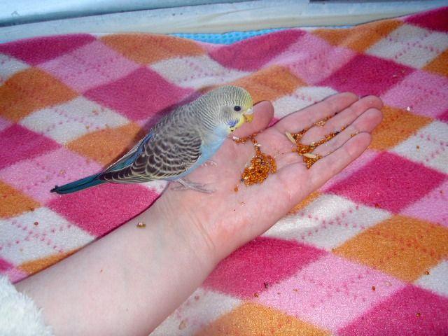 Волнистые попугаи (птенцы)