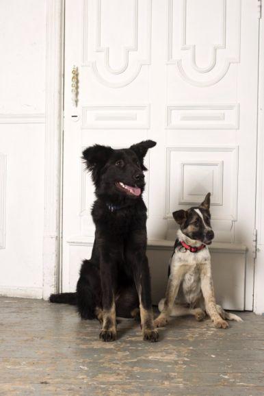 Молодая активная собака Честа в хорошие руки