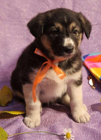 Милейший малыш-щенок дворняжки - в дар добрым людям