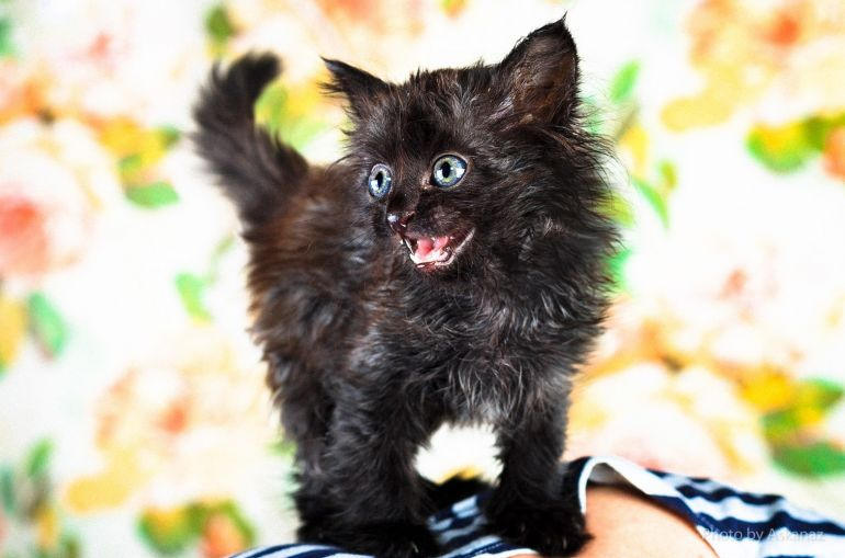 Котёнок Нафаня, девочка с королевскими ушами в дар