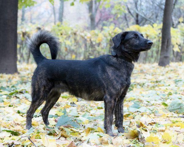 Шикарный молодой пёс Арчи-один из лучших, в дар