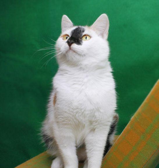 Котёнок Адель - воплощение позитива и радости в дар