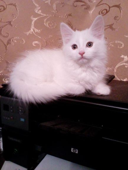 Котик Ангоры