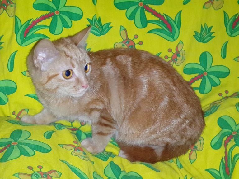 Отдам Рыжего Мраморного котёнка