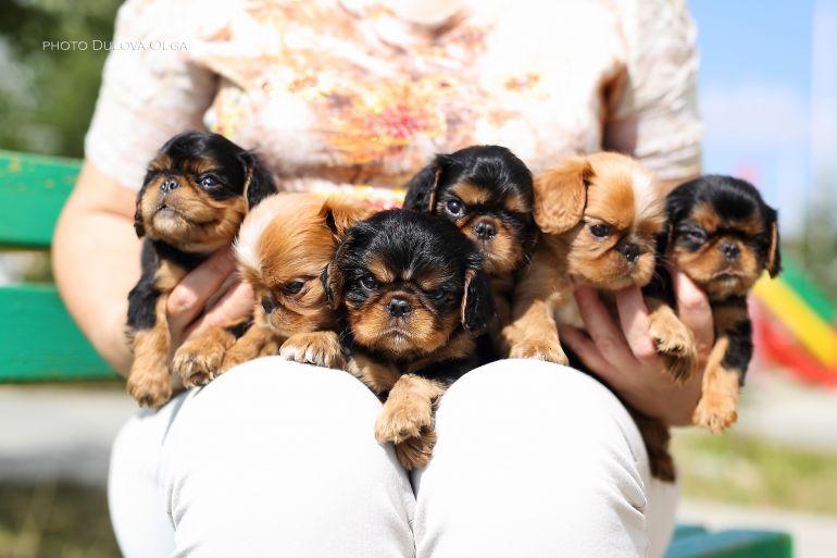 Имеем в продаже щенков  Кинг Чарльз Спаниель
