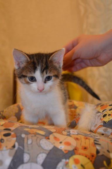 Василиса, Вася, маленькая кошечка 2-2,5 месяца