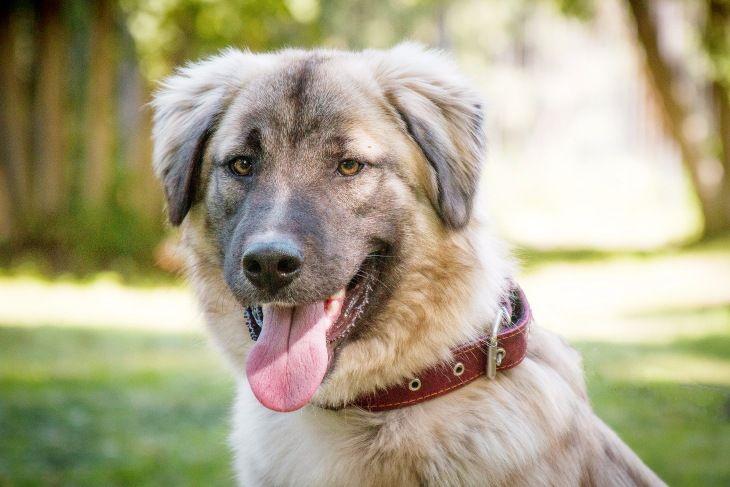 Красивейший пёс Чибис в добрые руки