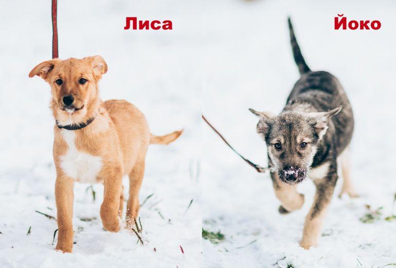 Лиса и Йоко - щенки в добрые руки
