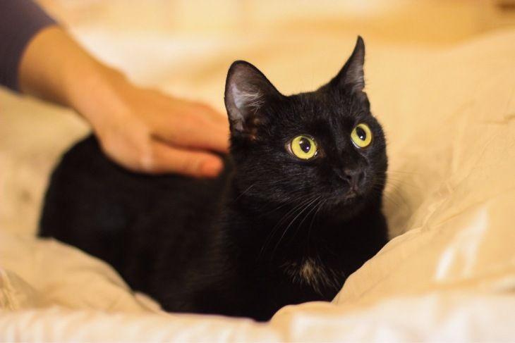 Красивая кошка Петра ищет добрые руки