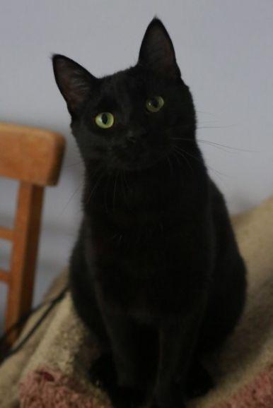 Эффектный красавчик по имени Пудинг. Молоденький чёрный котик в дар