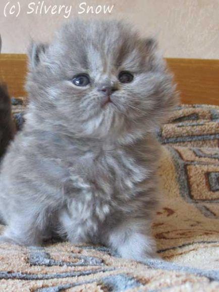 Пушистые котята. Британские длинношёрстные