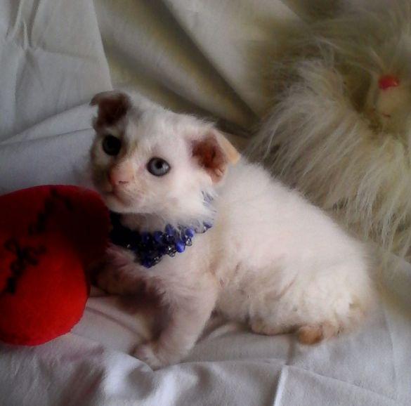 Украинский Левкой котёнок девочка