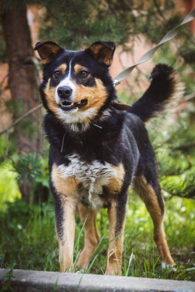 Красивый пёс Алтай в добрые руки