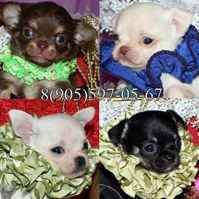 Чихуахуа щенки, маленькие шедеврики