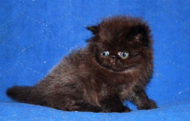 Персидский котик чёрный шоколад