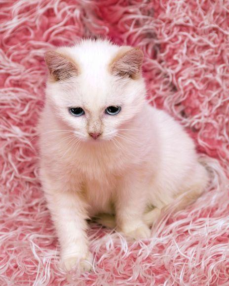 Тайский котёнок-подросток Кекс ищет дом