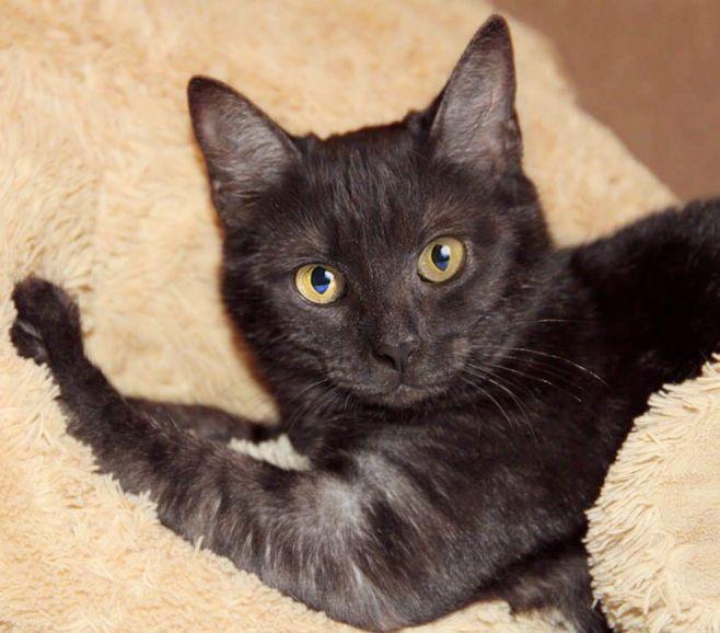 Котёнок уникального окраса чёрный дым Брауни в дар