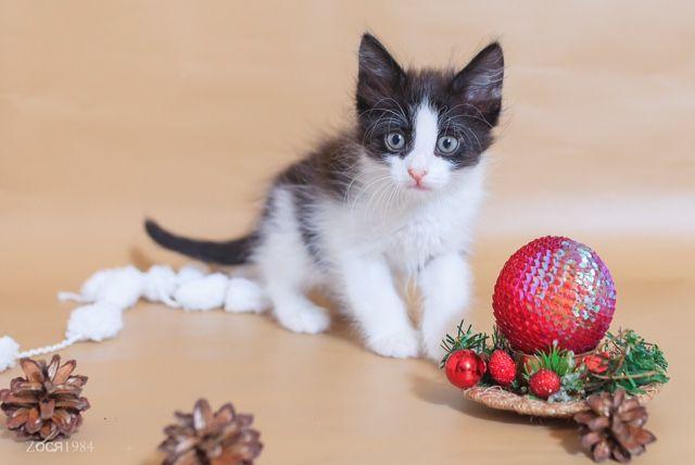 Котята серебро на белом, 1,5 месяца, в дар