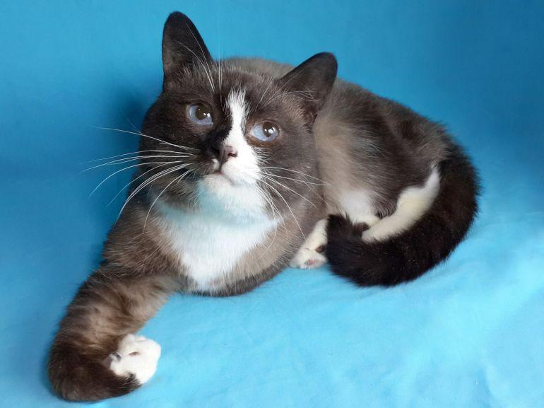 Тайский кот Сяма ищет хозяев