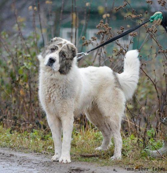 Пахом - молодой кобель алабая