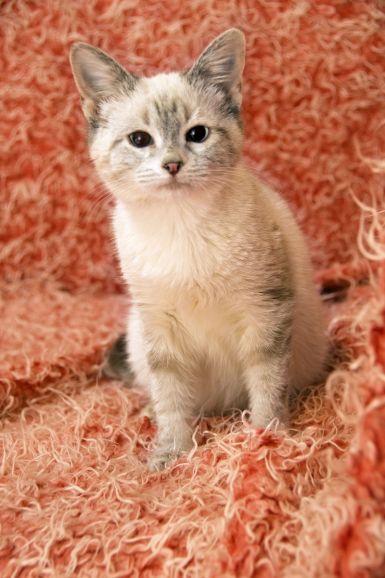 Белоснежка чудесный тайский котенок ищет дом