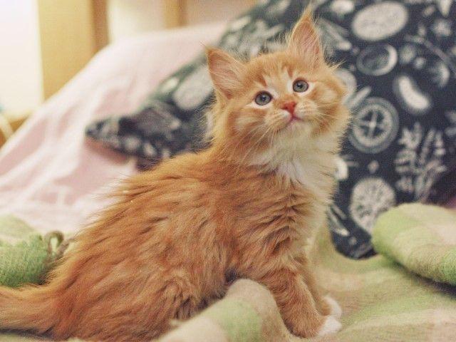 Маленькие солнышки в поисках дома. Пушистые рыжие котята в дар