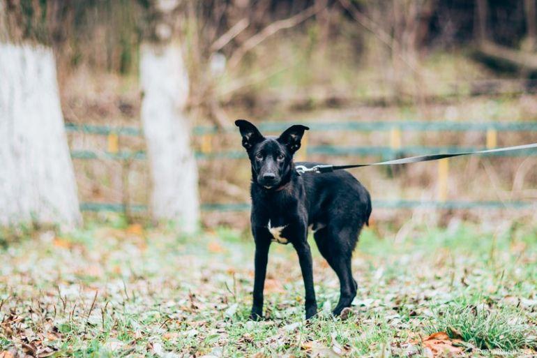 Чудесный и ласковый щенок Чук в активном поиске