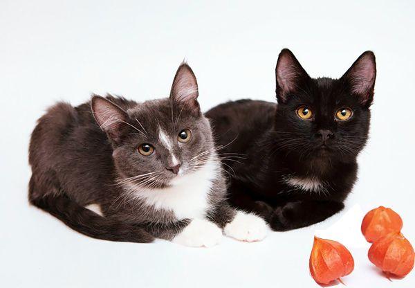 Котята Арчи и Алиса, маленькие совершенства в добрые руки