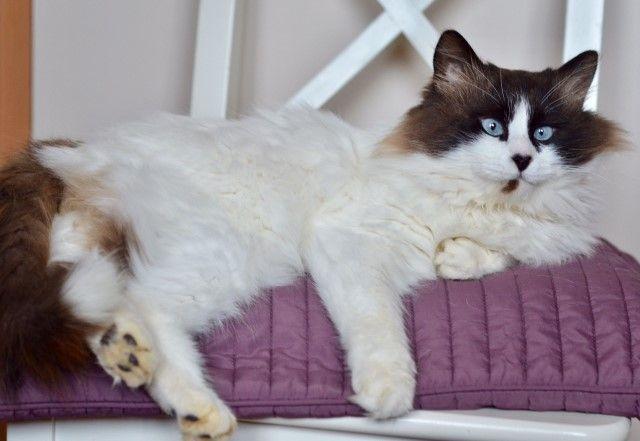 Голубоглазое чудо по имени Аксель. Невский маскарадный кот в дар