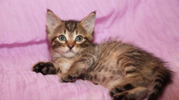 Триша и Ариша, чудесные котята в добрые руки