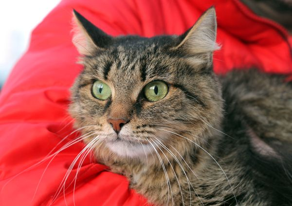 Ласковое чудо по имени Василиса, кошка в добрые руки