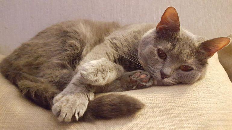 Голубокремовая Британистая кошка ищет хозяев