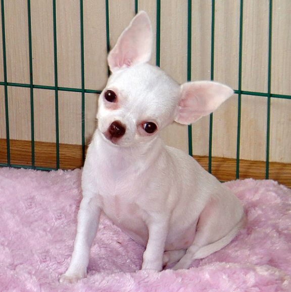 Красивые щенки чихуахуа по разумной цене