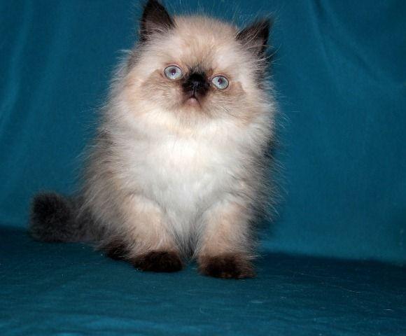 Персидский котик  шоколад поинт
