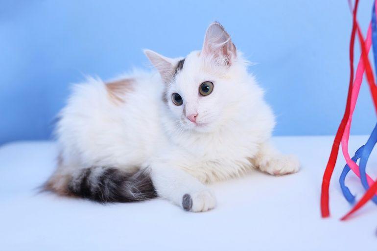 Котёнок девочка необыкновенной красоты Юкка в дар