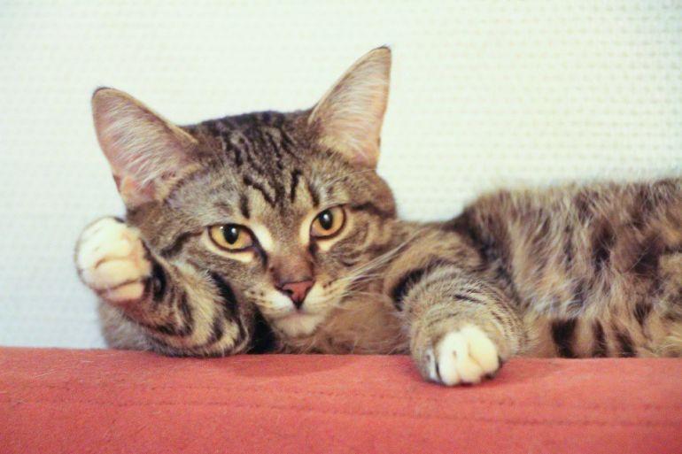 Кошечка Фелина в добрые руки