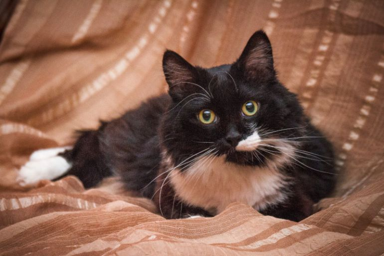 Пушистый чёрно-белый кот Пуффи для уюта и тепла в доме