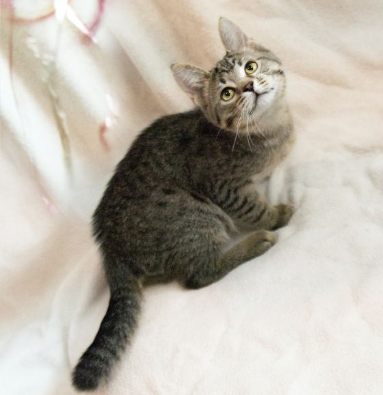 Умненький полосатик, котёнок Матиуш I ищет дом